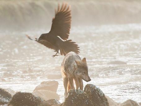 Lupi e corvi: un legame fra specie diverse