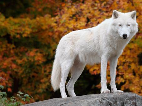 Il Regno del Lupo Bianco