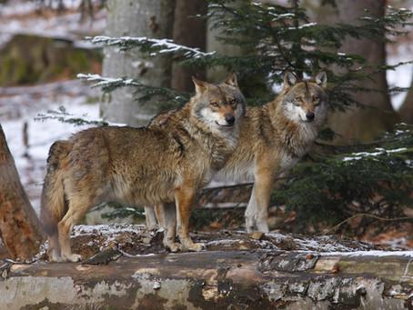 Lupo polacco e lupi europei