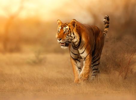 Oggi è la Giornata Mondiale della Tigre sempre più vicina all'estinzione!