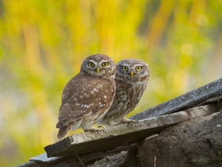 Cronache gufesche a Monselice: un corso tra nidi, penne, allocchi e civette
