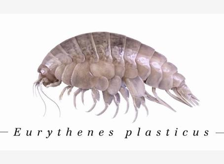 Grande scoperta: un nuovo crostaceo nella fossa delle Marianne che contiene tracce di plastica!