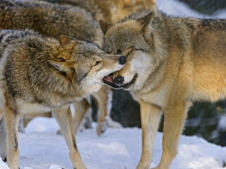 Gioco e lupi