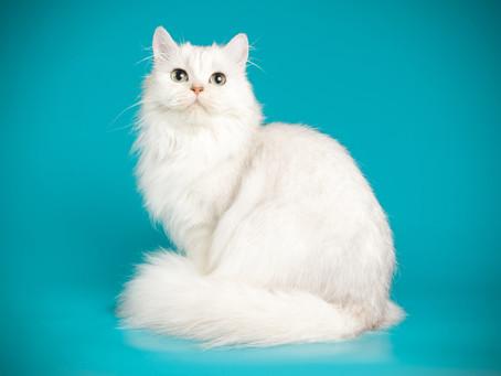 Quest'anno al Festival dei Gatti non potete perdervi il gatto Highland!