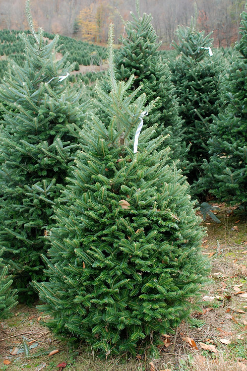 NYC 4- 5ft Premium Fraser Fir- Delivery & Installation