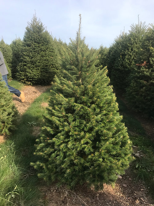 HOME DELIVERY 5 to 6FT DOUGLAS FIR