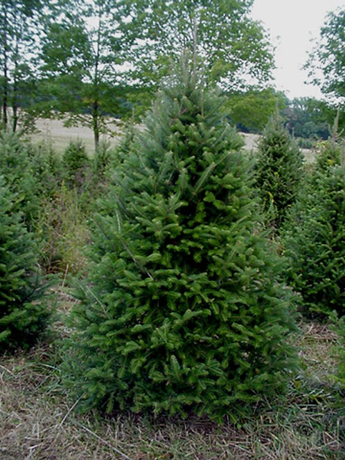 6 to 7ft New Finland Fir w/ Delivery & Setup