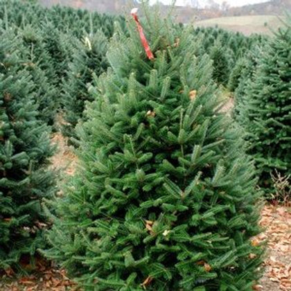 5 to 6ft Premium Fraser Fir- Delivery & Installation