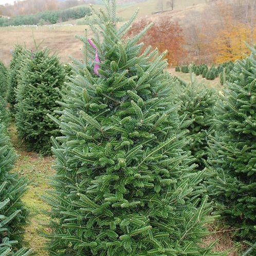 6-7 ft Balsam Fir- Delivery & Installation