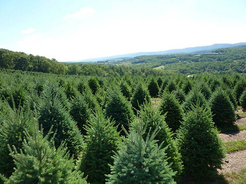 6 to 7ft Premium Douglas Fir w/ Delivery & Setup