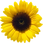 Sunflower 2.png
