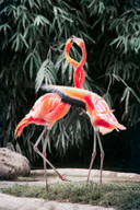 Pretty Flamingo  Song by Manfred Mann  Photo by Simon Berger / Unsplash
