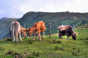 Cows playing