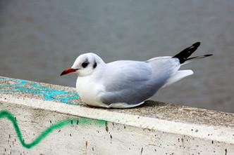 Placid seagull
