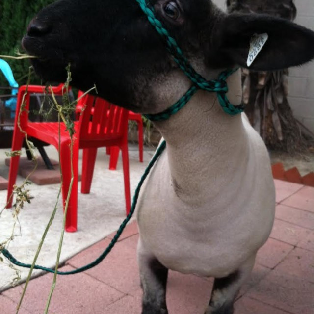 GA Rescues a Slaughter-Bound Lamb