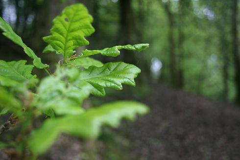 Oak leaves in wood