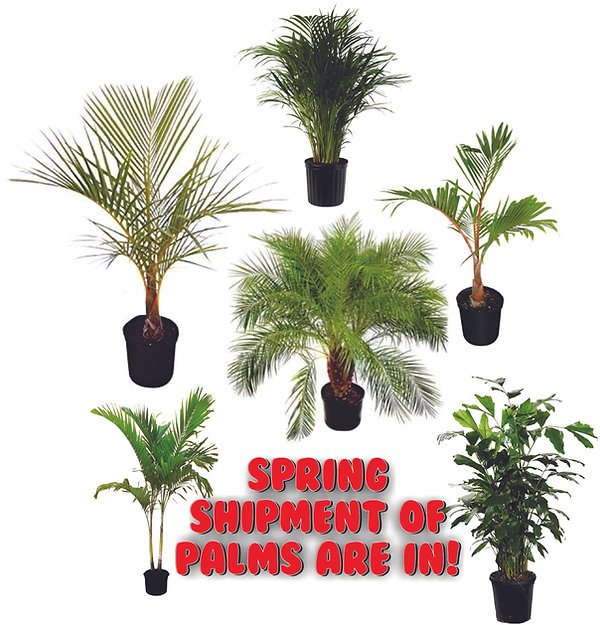 spring palms are in.jpg
