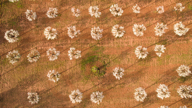 photo almond trees in flowers