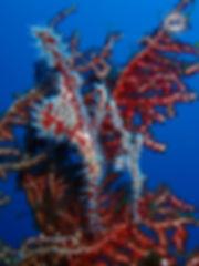 Рыбы призраки, Ghost Pipe Fish