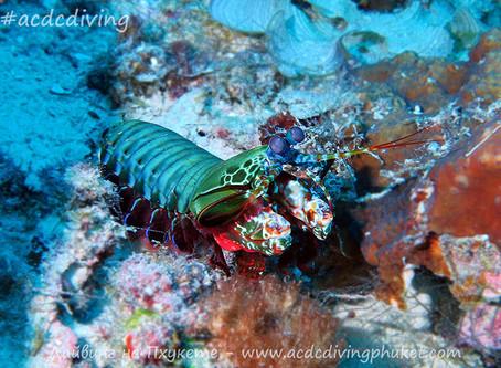 Павлинья креветка-богомол - Peacock Mantis Shrimp