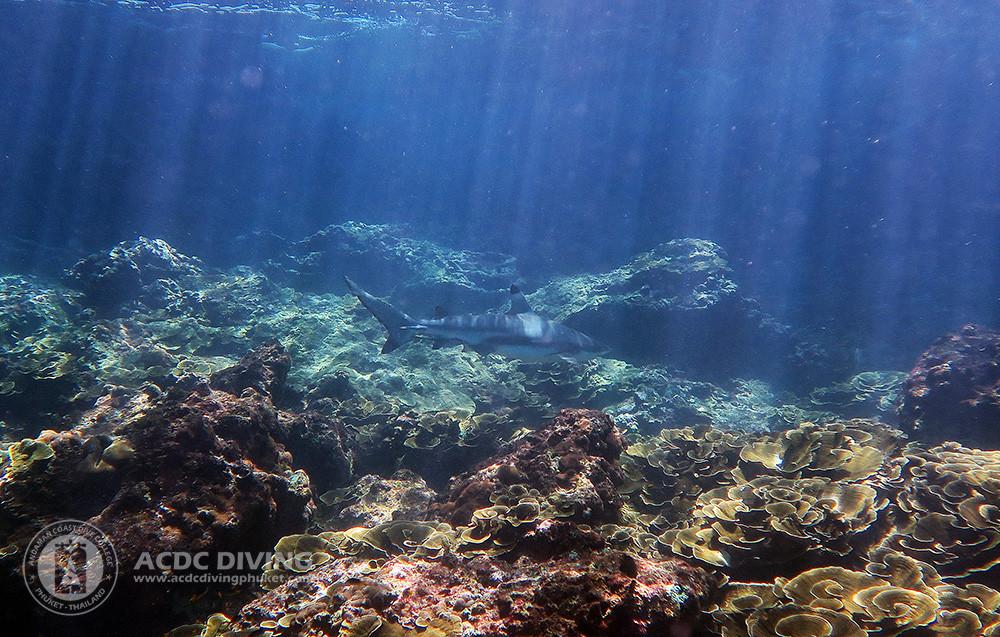 Дайвинг на Пхукете летом - черноперая акула на Пхи Пхи
