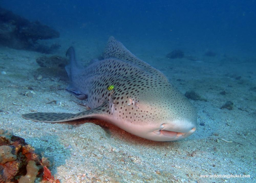Леопардовая акула. Дайвинг на Пхукете - острова Пхи Пхи.