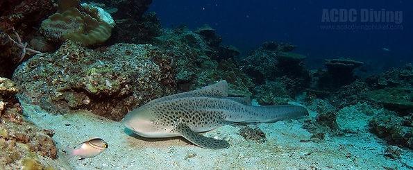 Леопардовая акула, Пхи Пхи акулы, акула на Пхи Пхи, lepard shark, Phi Phi акулы