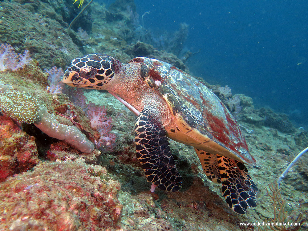 Черепаха на острове Пхи Пхи Лей. Дайвинг на Пхукете