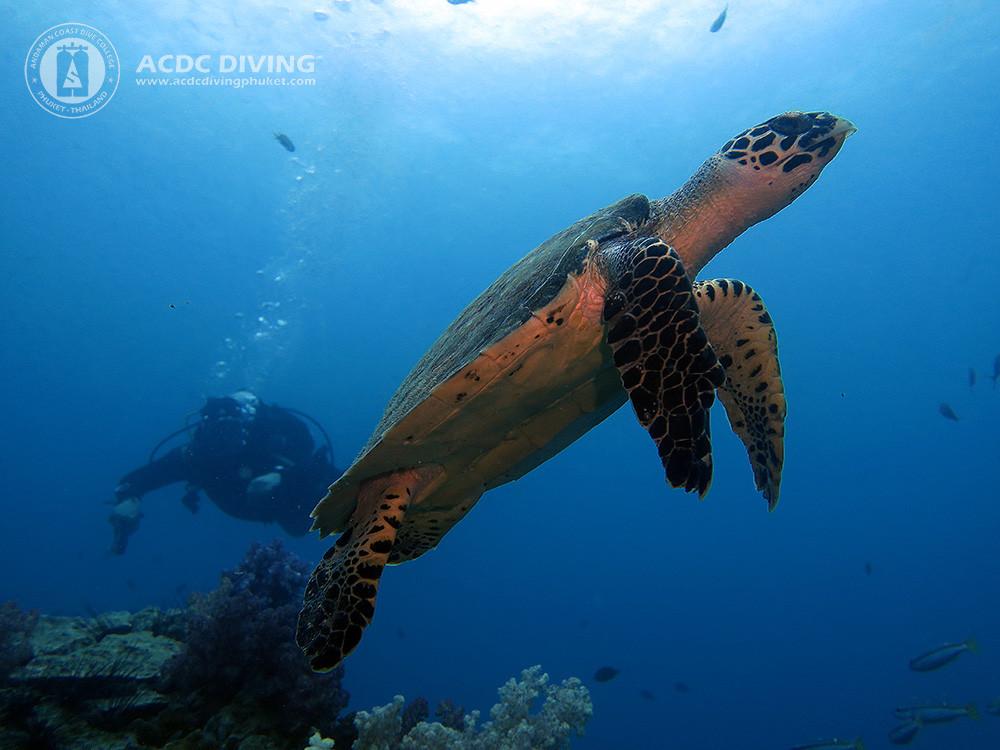 Дайвинг на Пхукете летом - черепаха на Шарк Поинт