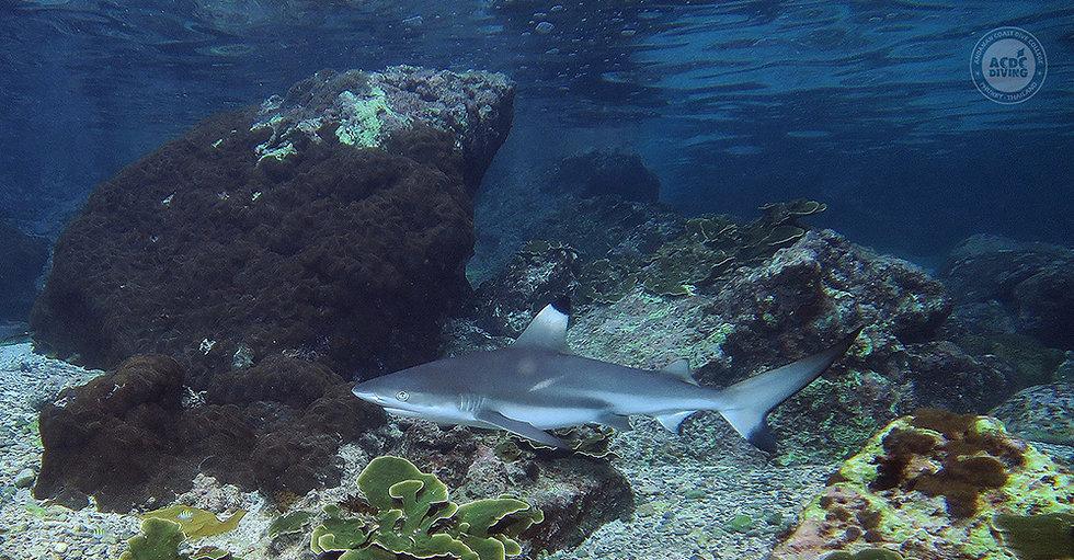 Черноперая акула, рифовая акула, Пхи Пхи Дайвинг, Дайвинг на Пхи Пхи, Погружения на Пхи Пхи, Острова Пхи Пхи дайвинг, Понырять на Пхи Пхи, Нырялка на Пхи Пхи, Phi Phi Diving