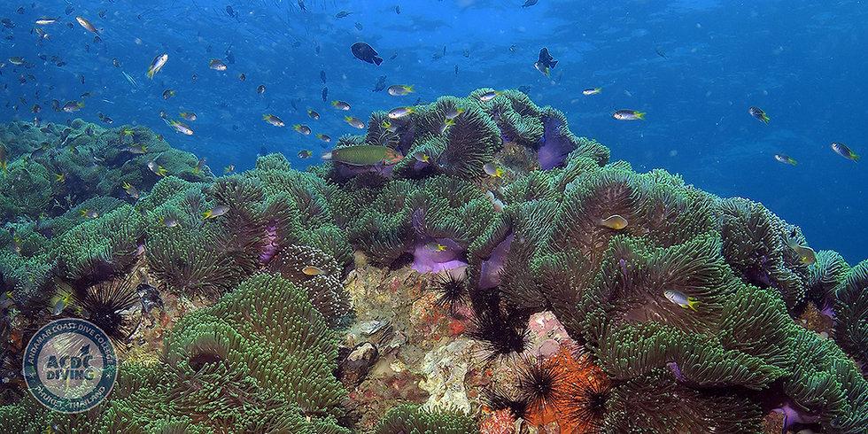 Анемон Риф, Anemone Reef, Анемон Риф Пхукет, Дайвинг Анемон Риф