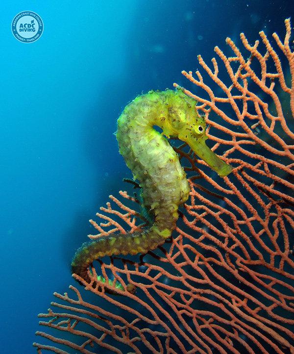 Морской конек, Seahorse