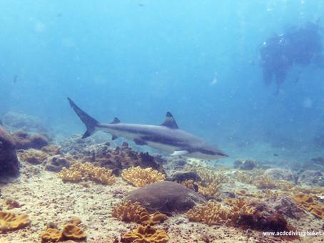 Черноперые акулы снова на Пхи Пхи!