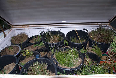 Plants in pots rescued from clearing at Fiona Stanley Hospital, Murdoch, WA