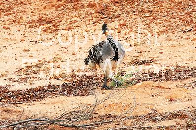 Malleefowl at at GondwanaLink property Chingarrup Sanctuary, WA