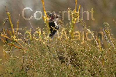 Western Whipbird in revegetation at at GondwanaLink property Chingarrup Sanctuary, WA