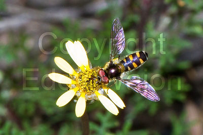 Hover fly at property Chingarrup Sanctuary, WA