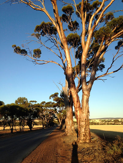 Beautiful tall Salmon Gums on York-Quairading Road prior to clearing