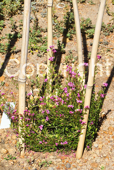 Boronia scabra tubestock planted at at GondwanaLink property Chingarrup Sanctuary, WA