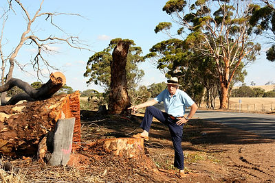 Tall Salmon Gums on York-Quairading Road cut down after clearing