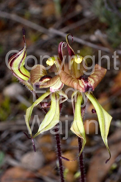 Caladenia doutchiae at GondwanaLink property Chingarrup Sanctuary, WA