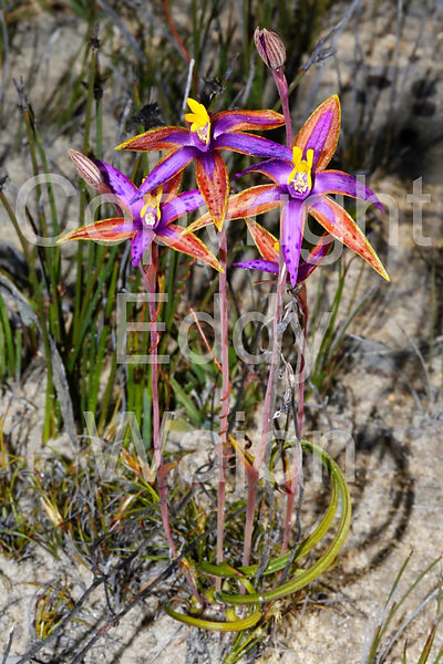 Thelymitra speciosa in remnant vegetation at at GondwanaLink property Chingarrup Sanctuary, WA