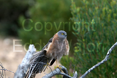 Sparrow Hawk at GondwanaLink property Chingarrup Sanctuary, WA