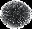 2003-Paracentrotruslividus-1-JLB+.png
