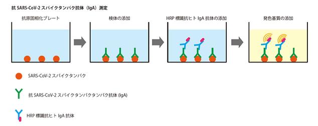 IgA 原理図.png