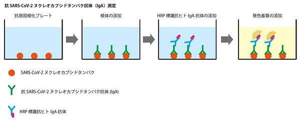 IgA(ヌクレオカプシド)原理図.png
