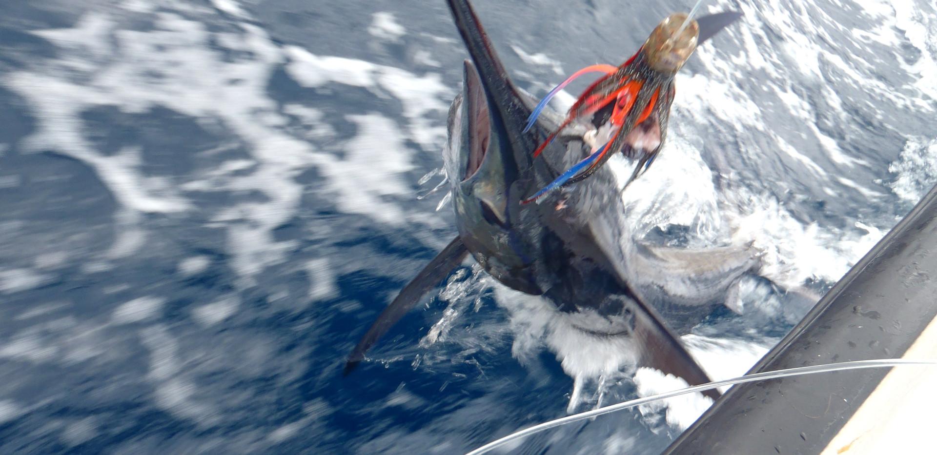 Marlin head