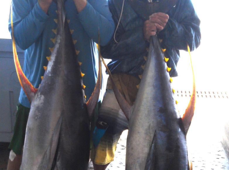 Yellow fin tunas