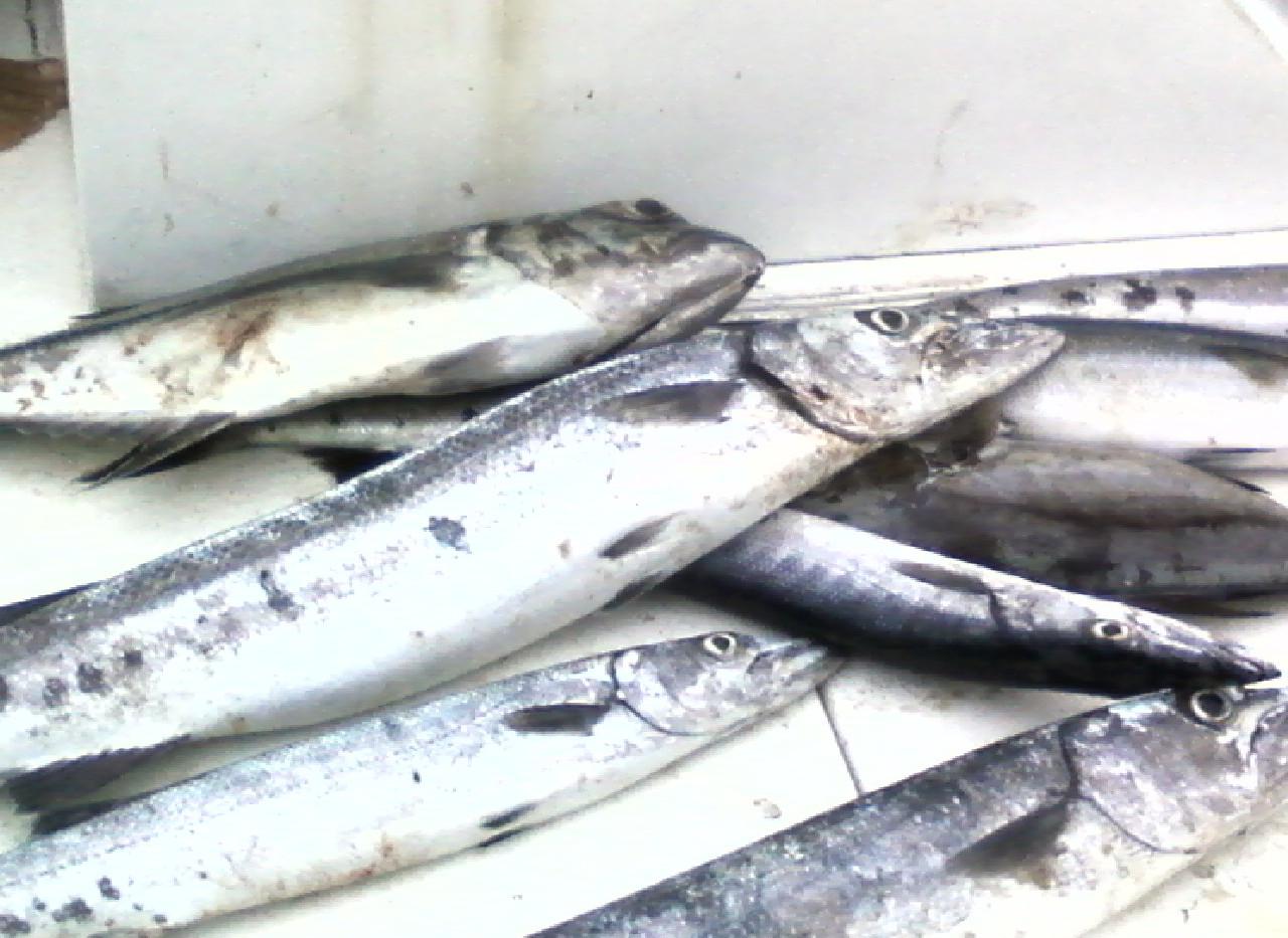 barracudas on boat