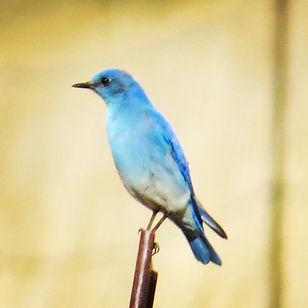 blue bird gun.jpg